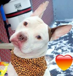 Manhattan Center BRUCE - A1025053 MALE, WHITE / BROWN, STAFFORDSHIRE MIX, 4 yrs STRAY - STRAY WAIT, NO HOLD Reason STRAY Intake condition UNSPECIFIE Intake Date 01/08/2015, From NY 10457, DueOut Date 01/11/2015, https://www.facebook.com/photo.php?fbid=942410652438481