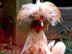 Wishing we had a whole chicken house of these! Sure would make me smile!! Farm Animals, Cute Animals, Unique Animals, Polish Chicken, Raising Backyard Chickens, Backyard Farming, Chicken Runs, Chicken Lady, Farm Photo
