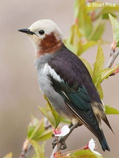 Chestnut cheeked starling