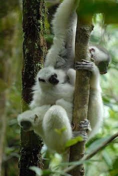 The incredible beautiful silky sifakas are vanishing from the forests of Madagascar. Photo: Jeff Gibbs Silky sifakas, lemurs known locally as either Baby Exotic Animals, Exotic Pets, Baby Animals, Cute Animals, Madagascar, Primates, Mammals, Baby Lemur, Iberian Lynx