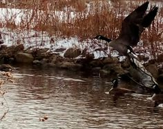 animal themes, wildlife, animals in the wild, bird, one animal, water, swimming, nature, outdoors, day, duck, no people, animal, lake, zoology, balance, cold, winter, carefree
