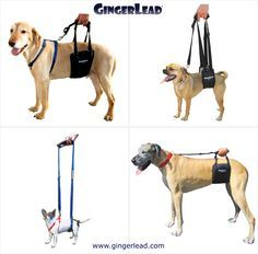 The GingerLead Dog Support & Rehabilitation Harness is a premium belly sling with a leash & handle to help dogs with weak hind legs walk. It's ideal for senior or disabled dogs needing some assistance with their mobility or balance, dogs suffering from ar Animals And Pets, Cute Animals, Dog Sling, Disabled Dog, Healthy Pets, Dog Care, Vizsla, Dog Training, Fur Babies
