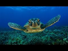 ♥♥ Giant Sea Turtles in Coral Reef (3 hours) - YouTube