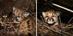 Practically every major development gets a rush of press coverage, like when these cubs were discovered in the Santa Monica Mountain range. | A Mountain Lion Just Climbed A Utility Pole In California And Stayed There