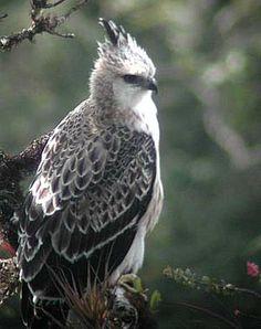 cajanuma black and white crested eagle