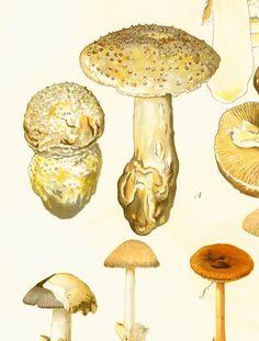 Amanite hérisson Champignons Planche Originale Atlas Botanique Decor Vintage