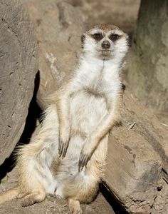 A supremely relaxed and self-assured looking meercat lounges against a stump. By Nathan Rupert / San Diego Shooter, via Flickr