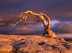 Here's a view of the famous Jeffrey pine on Sentinel Dome in Yosemite. This tree died in 1976, but it's photogenic snag lingered until 2003 when it finally toppled. No one knows whether it fell down naturally or was aided by someone climbing on it.    I made this photograph in 1996 when a band of low, scudding clouds provided a perfect backdrop to the tree. I've also made a rather wild nighttime image ...  展开此信息 »