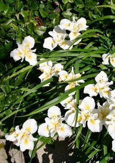 Front yard and front shade area.  Iris douglasiana 'Canyon Snow' canyon snow iris