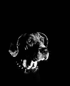 great dane  pets in frames photography #facebookpage