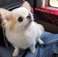 Chihuahua dogs are part of the toy dog breed, bringing a lot of energy in a tiny package. Find out more about the Chiwawa dog here. Yorkie Dogs, Chihuahua Puppies, Cute Dogs And Puppies, Cute Kawaii Animals, Cute Baby Animals, Funny Animals, Toy Dog Breeds, Raining Cats And Dogs, Dog Cat