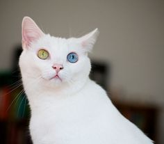 I had a cat like this years ago.  Only the colors were reversed.  She had white eyes and a blue and yellow coat.
