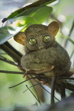 The smallest primate in the world - filipino tarsier. This nocturnal animal is very sensitive and can't be bothered during the day so the only way to get a good photo of them is to have a telephoto lens and hope that the animal turns its head..