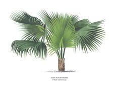 Palm tree print by Pannemaeker: Pygmy Date Palm