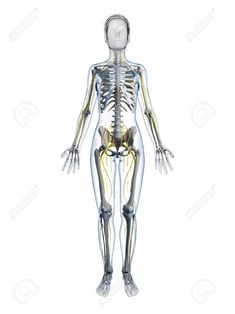 Muscular System Diagram Labeled For Kids Human Anatomy Drawing