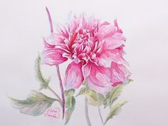 Pink Watercolor Dahlia Flower Tattoo Design