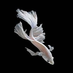 Siamese fighting fish otherwise known as Betta fish. On another note. i want a white betta fish 😣 Colorful Fish, Tropical Fish, Poisson Combatant, Beautiful Creatures, Animals Beautiful, Beta Fish, Siamese Fighting Fish, Beautiful Fish, Exotic Fish