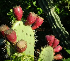 cactus fruit | cactus-fruit