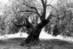 Chopo-Lopera II - Los chopos de Lopera (Jaen) son posiblemente los olivos más viejos que existan en el término, centenarios se alzan imponentes en la campiña regalándonos formas imposibles.