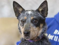 Adopt Greta, a lovely 1 year  7 months Dog available for adoption at Petango.com.  Greta is a American Blue Heeler and is available at the National Mill Dog Rescue in Colorado Springs, Co.  www.milldogrescue.org #adoptdontshop  #puppymilldog   #rescue  #adoptyourfriendtoday