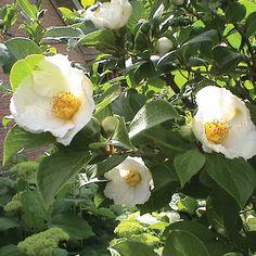 Japanese Stewartia | Tennessee Gardener Hot Plants