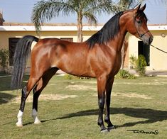 The Arabian or Arab horse is a breed of horse that originated on the Arabian Peninsula. With a distinctive head shape and high tail carriage, the Arabian is one of the most easily recognizable horse breeds in the world.