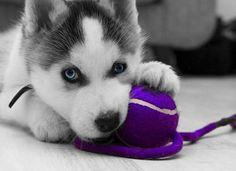 Husky and his Purple Ball-y ~ Color Splash