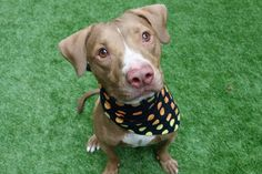 RETURN! STRAY! SAFE 12/3/15 SUPER URGENT Manhattan Center OPIE aka MULBERRY aka ROYAL – A1058954 (ALT ID – A1109447) **RETURNED 04/20/17** NEUTERED MALE, BROWN / WHITE, AM PIT BULL TER MIX, 2 yrs, 5 mos STRAY – ONHOLDAVAI, HOLD FOR ID Reason STRAY Intake condition EXAM REQ Intake Date 04/20/2017, From NY 10456, DueOut Date 04/27/2017