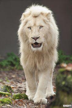 White Lion -  es una mutación poco frecuente de color en el área de Timbavati. Los leones blancos son los mismos leones africanos rojizos (Panthera leo krugeri)