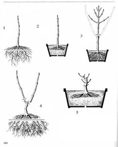 Bonsai Tree Care for Beginners Bonsai Pruning, Pruning Fruit Trees, Tree Pruning, Bonsai Plants, Bonsai Garden, Garden Trees, Trees To Plant, Bonsai Tree Care, Indoor Bonsai Tree