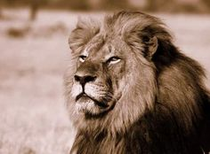 Cecil - popular 13 year old lion lured and killed outside Zimbabwe's Hwange Natural Park by trophy hunter - so wrong !!