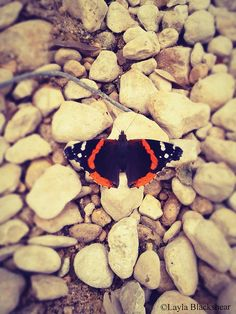 The Red Admiral Butterfly Photograph by PictureBook on Etsy - #butterfly #photography #austintexas #nature #etsy #lepidoptera #redadmiral