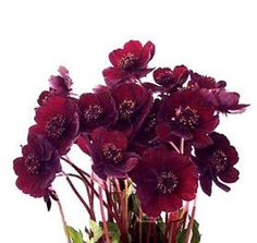 Sweet as a small flower accent...and burgundy, not chocolate...but more of a red burgundy than a purple burgundy...Mayesh Wholesale Florists - Search our Flower Library