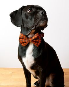 Dog bow tie. We need this for Dex so he can be a Doctor Who fan like his dad. : )