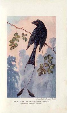 The birds of Singapore Island. - Biodiversity Heritage Library
