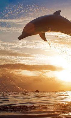Bottlenose Dolphins HD Wallpaper : Get Free top quality Bottlenose ...
