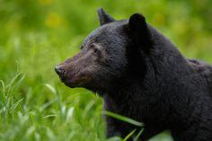 Beautiful black bear in the Smokies!