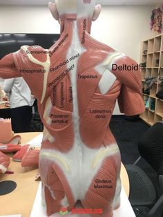 a view of the most superficial posterior muscles of the body – Health Life Human Body Anatomy, Human Anatomy And Physiology, Psoas Release, Muscular System, Medical Anatomy, Anatomy Study, Anatomy Back, Muscle Body, Massage Therapy