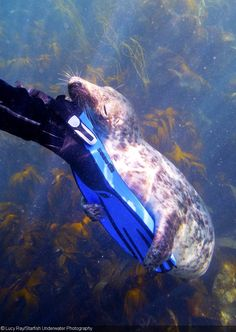 Gray Seal Photography in the Isles of Scilly - Lucy Ray/Starfish Underwater Photography