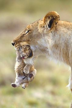 Mother lion carries her tiny cub with a gentle touch.