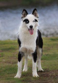 Spitz Breeds, Dog Breeds, Unique Animals, Cute Animals, Different Dogs, Husky Puppy, Cat Paws, Australian Shepherd, Shepherd Dog