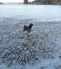 Cold sushi: An entire shoal of fish was found frozen mid-swim off the coast of Norway, near the northern island of Lovund