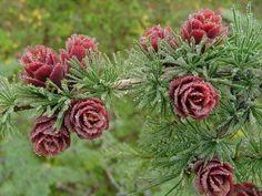 Polarna Róża. Tak kwitnie modrzew, jego szyszki stają się czerwone raz na 2-3 lata. Zdjęcie wykonano w Jakucji, Sacha.