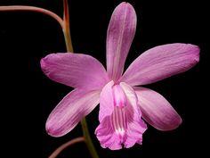 Bletia patula | 300 10 | Emilio | Flickr