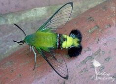 My new favorite bug: Coffee bean hawkmoth. Looks like a moth imitating a green m… My new favorite bug: Coffee bean hawkmoth. Looks like a moth imitating a green mantis shrimp with wings. Cool Insects, Bugs And Insects, Beautiful Bugs, Beautiful Butterflies, Beautiful Creatures, Animals Beautiful, Hummingbird Moth, Especie Animal, Cool Bugs
