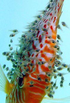 https://i.pinimg.com/736x/e8/dd/11/e8dd11cac222440a86acd36d3c2de3a0--discus-aquarium-discus-fish.jpg
