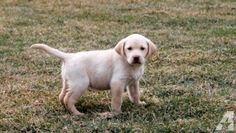 AKC Lab Puppies for Sale in Doyles Mills, Pennsylvania Classified | AmericanListed.com