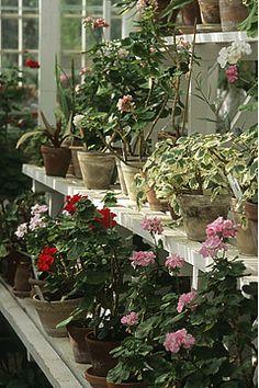 Havenyt.dk - Pelargonie Yard Decorations, Planters, Landscape, Garden, Scenery, Garten, Lawn And Garden, Gardens, Plant
