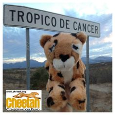 Tropic of Cancer Cheetah  Follow along as the Purring Cheetahs travel the world and add photos of your own Cheetah adventures to join the fun!   www.facebook.com/chewbaakascheetahfriends   #chewbaakascheetahfriends