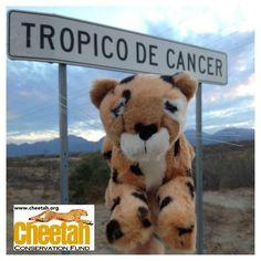 Tropic of Cancer Cheetah  Follow along as the Purring Cheetahs travel the world and add photos of your own Cheetah adventures to join the fun!   www.facebook.com/chewbaakascheetahfriends   #chewbaakascheetahfriends